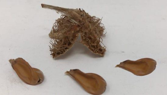 Beech Seeds