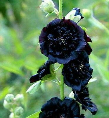 Black Hollyhock