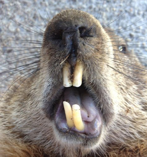 Groundhog Fangs