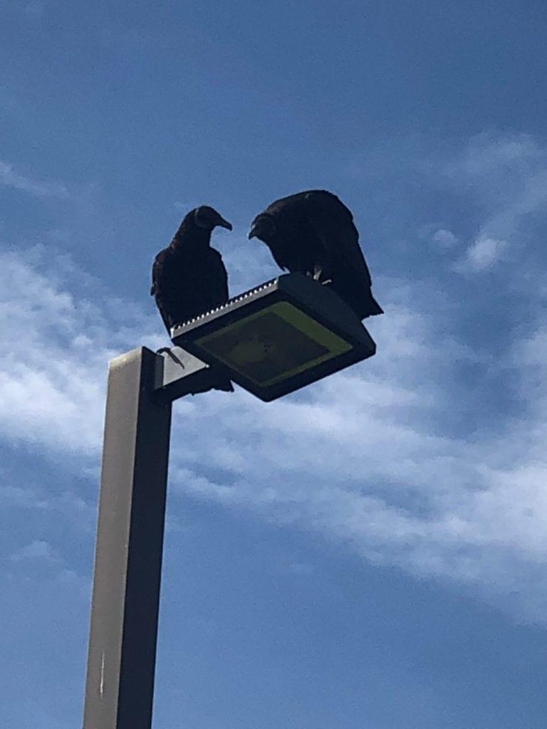 Whispering Vultures