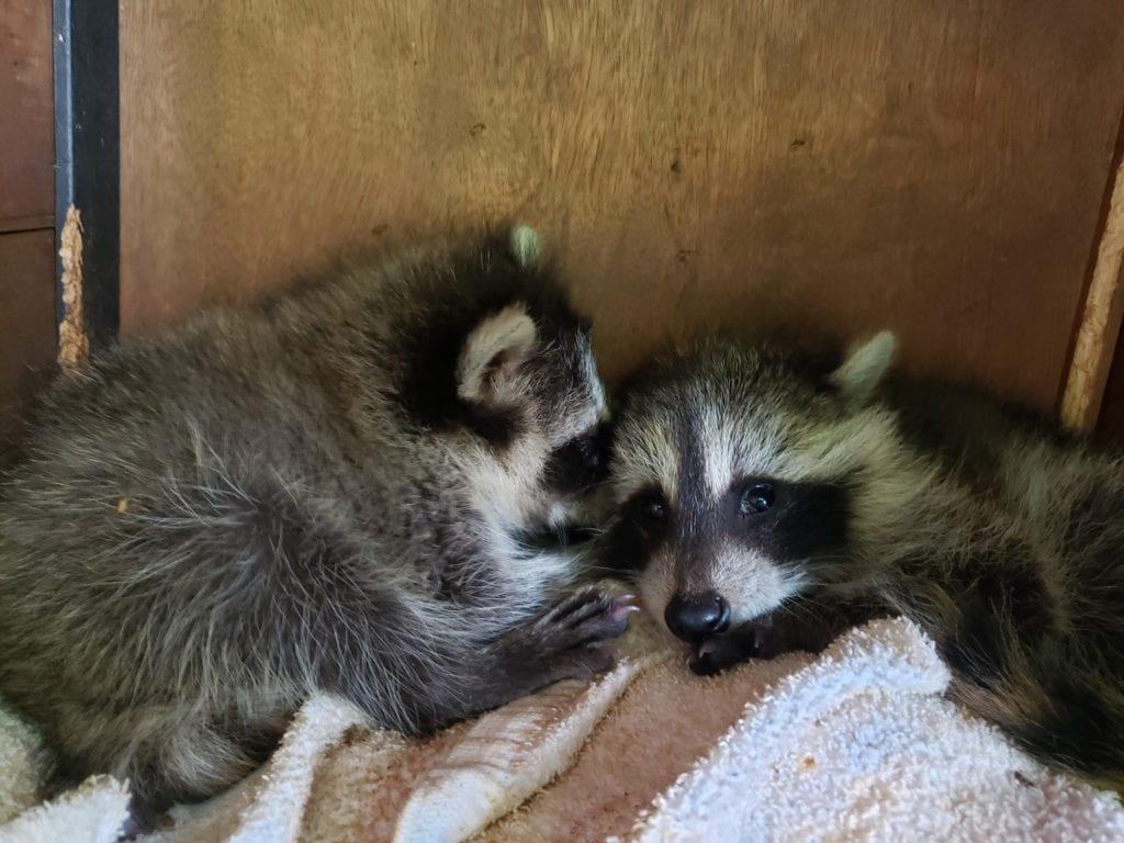 Growing Raccoons