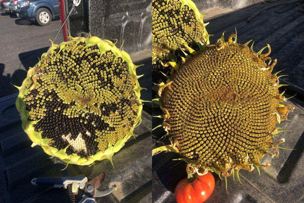 Huge Sunflowers