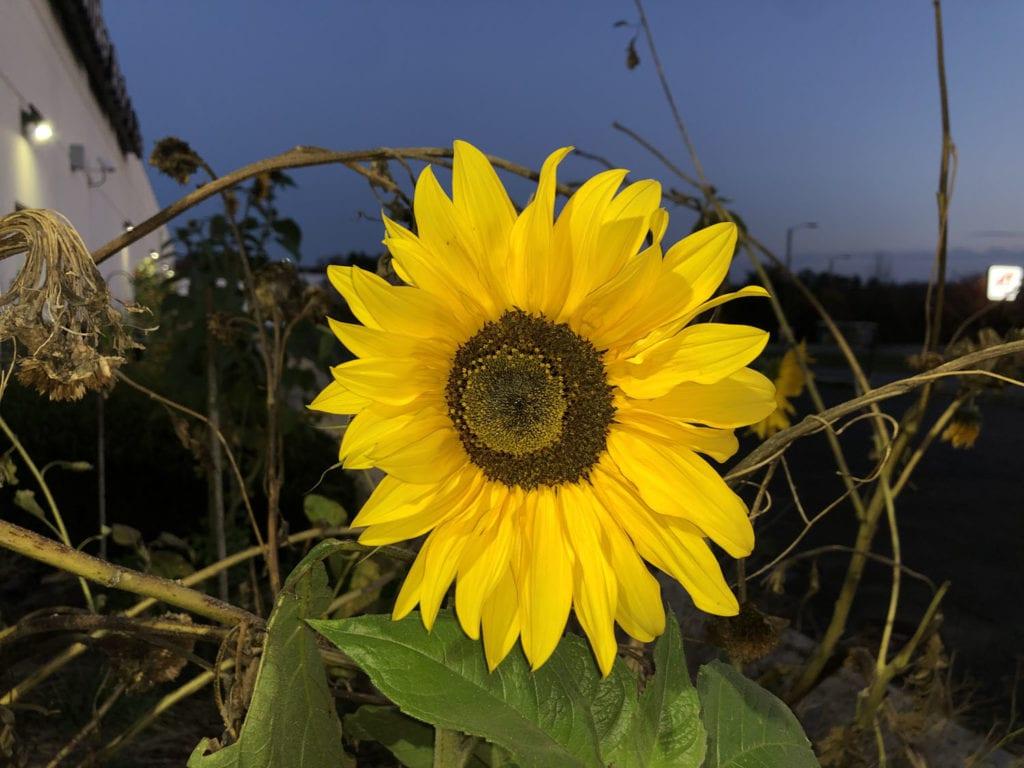 Late Sunflowers