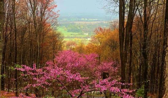 Redbuds in Full Blossom