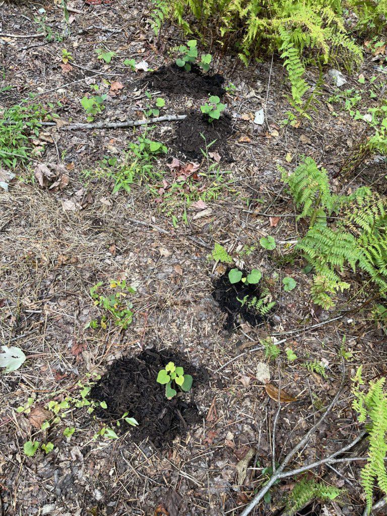 Redbud Seedlings